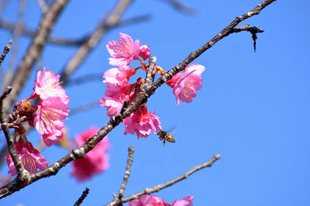 Photo material of scarlet cherry tree with beautiful pink color (Okinawa Prefecture)