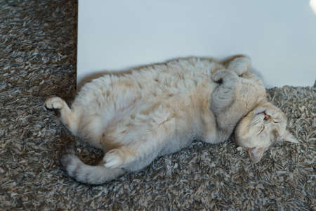 British shorthair cat, gray smoky color, sleeps on her back. The legs are folded over the chest.