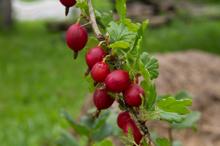 Red gooseberry in the summer garden
