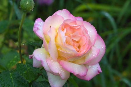 Peace (Gloria Dei) Hybrid Tea Rose in summer garden