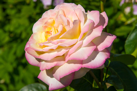 Peace (Gloria Dei) Hybrid Tea Rose in summer garden close up macro