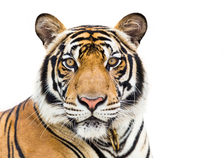 Jonge tijger die op witte achtergrond wordt geïsoleerd Stockfoto
