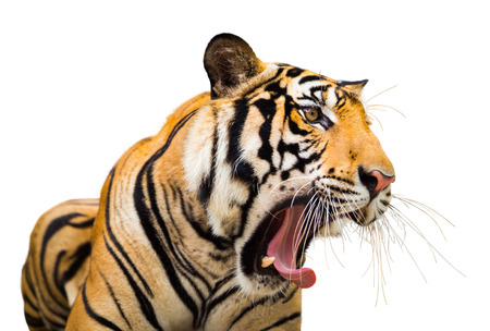 Siberian Tiger Roaring isolate on white background with clipping path