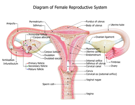 fundus: Female reproductive system, image diagram Stock Photo