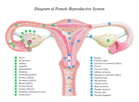 Female reproductive system, image diagram Archivio Fotografico