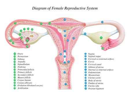 Weibliche Fortpflanzungssystem Isoliert Auf Weißem Hintergrund Mit ...