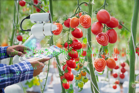 Granjero que usa un robot de control de tableta digital para cosechar tomates en la industria agrícola, concepto de granja inteligente de tecnología agrícola Foto de archivo