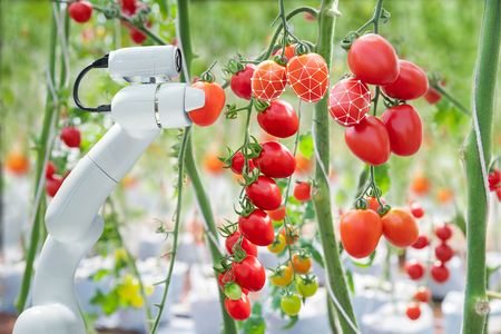 Image processing technology was apply with The robot to used to harvesting tomatoes in agriculture industry