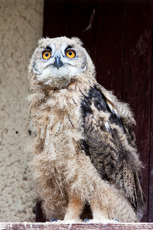 afield: Young not yet fledged eagle-owl looks afield Stock Photo