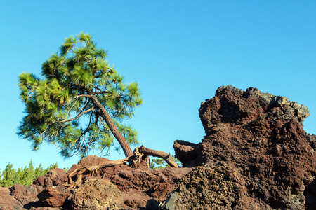 cling: Pine growing on the rocks in the Teide national park, Spain. Roots cling to the rocks. Blue sky in the background. No people