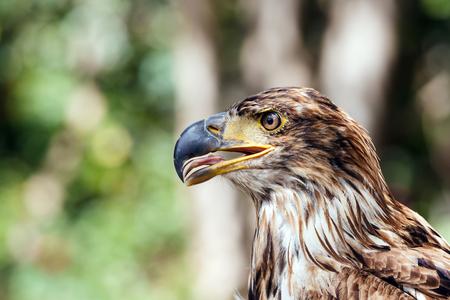 beak: Close-up of the eagle half-face with beak slightly open