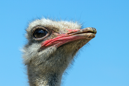 close uo: Close-uo of the head of ostrich with blue sky in the background Stock Photo