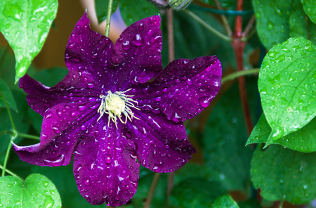 clematis flower: Large, dark purple clematis flower with white finger stamens after the rain Stock Photo