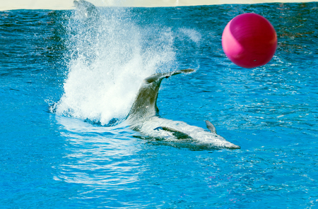 Dolphin playing with a red ball. Big splash Foto de archivo