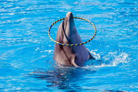 Dolphin juggles with a hoop in blue water