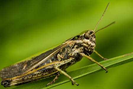 chorthippus: The bow-winged grasshopper (Chorthippus biguttulus). Portrait of an insect close-up. The Grasshopper sits on a leaf of a blade of grass. A grasshopper takes the whole frame. His tendrils are visible. Stock Photo