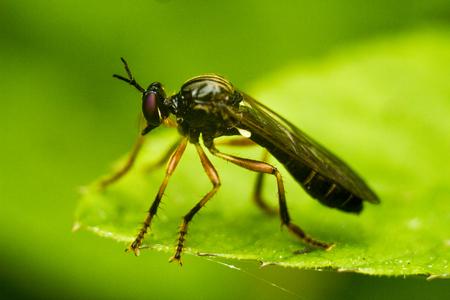 asilidae: Orange-legged Robberfly - Dioctria oelandica. Largest Dioctria with long dark wings.