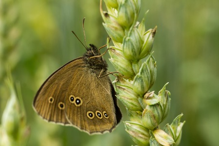 The ringlet - Aphantopus hyperantus. The butterfly sits on the spikelet and rests. Light green background. On the wings there are dots.
