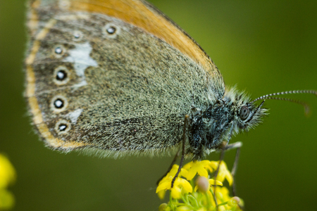 The chestnut heath - Coenonympha glycerion. An amazingly beautiful butterfly sits on a flower and rests. Wings are stacked together. Back background is a saturated green color. Stock Photo