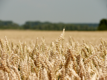 haulm: wheat on a summer day Stock Photo