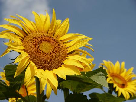 caulis: sunflower on a summer day