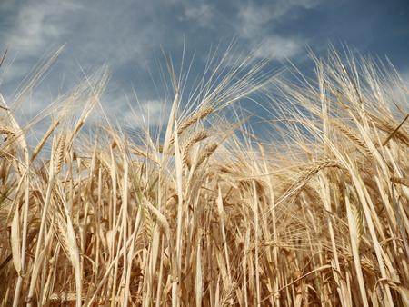 barley head: Barley on a summer day