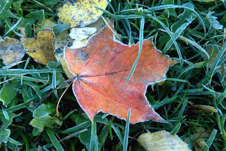 A sheet covered with frost or radiation frost. The autumn colors are red and green with the dust of icy white crystals in the sun.