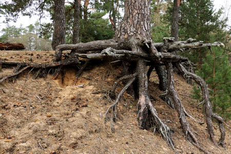 The trunk of a spruce tree with large open roots.