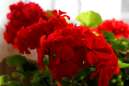 Red geraniums in a summer garden. closeup