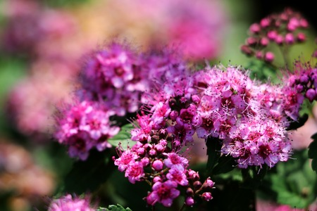 Pink flowers of Spiraea Japonica meadowsweet . Background Stock Photo