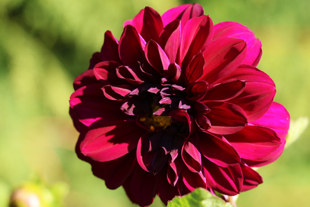 Close-up of a colorful pink dahlia showing its patterns, details, and vibrant colors.