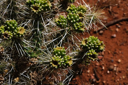 Top view of the cactuses with large needles