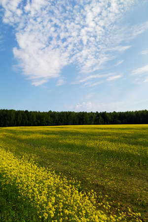 Large grassland of rapeseed under blue sky and white clouds