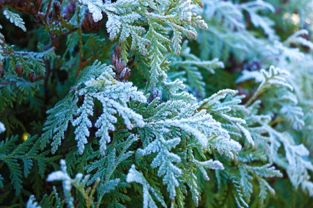 Thuja during the first frost. Frosted, white. Sunny morning