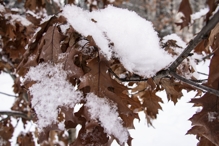 Brown oak tree leaves covered with hoarfrost. Close-up Stock Photo