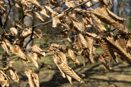 Dried leaves on tree branches after winter or autumn in the park