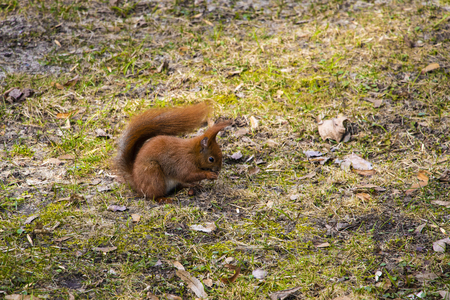 Beautiful squirrel with a bushy tail sits in the park and eats a nut