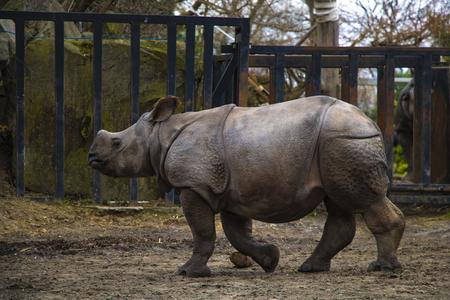 Rhino rhino running around the zoo and having fun
