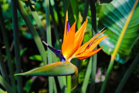 Colorful flower Bird of paradise Strelitzia Reginae blossom in botanic garden Standard-Bild