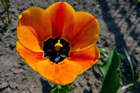 Top view on a beautiful orange tulip. Nature background