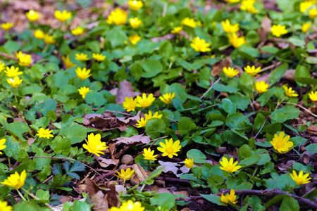 Bright yellow corollas of lesser celandine looks pleasantly in the nice bouquet