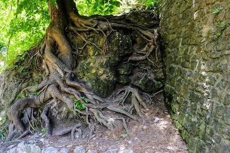 View of the large roots of an old tree protruding from the ground growing next to a stone wall