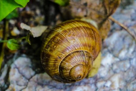 Common brown garden snail on stone. Pest for gardening Banco de Imagens