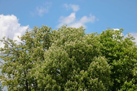 Blooming tree against the blue sky with clouds, nature background