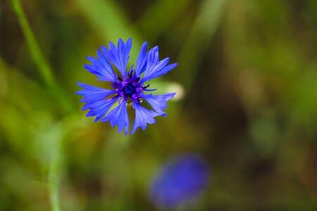 Purple meadow wildflower in soft focus, shallow depth, cornflower