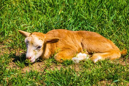 Little young red lamb lies on the grass and cannot get to its feet 版權商用圖片