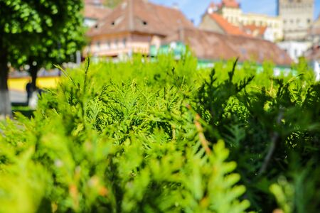 Bushes of a young green juniper in the foreground, in the background of a building and a house, out of focus, selective focus 版權商用圖片