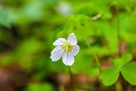 Oxalis, wood sorrel blossoming white flowers on a glade in the wood in sunny spring day
