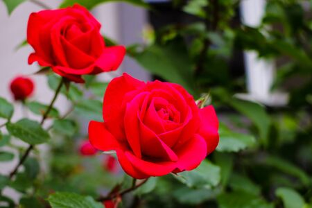 Detail of red roses in the garden. Selective focus Banco de Imagens