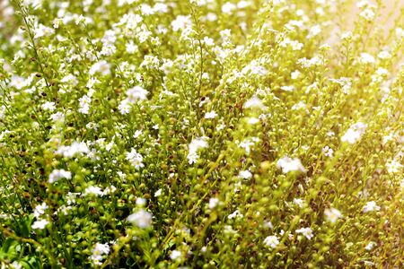 Galium odoratum, flowering herbs. Out of focus 写真素材